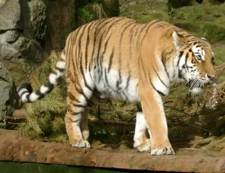 Tiger at Edinburgh Zoo