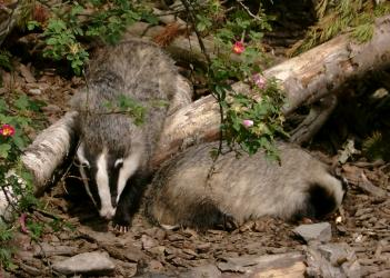 Badgers at the Highland Wildlife Park
