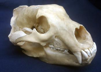 Brown Bear Skull