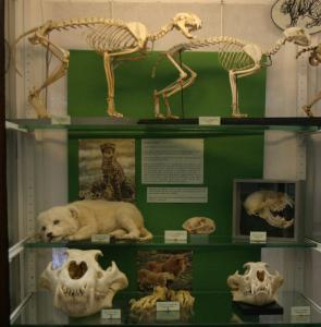 Natural History Collections Felidae