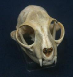 Domestic Cat Skull