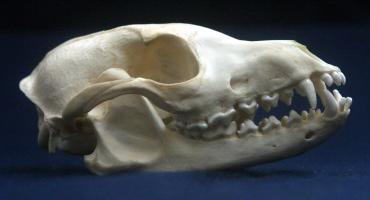 Crab-eating Zorro Skull