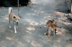 Australian Dingo and Cubs