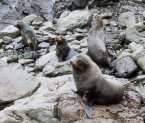 New Zealand Fur Seals on Land