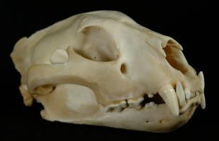 vi.be - Leopard Skull