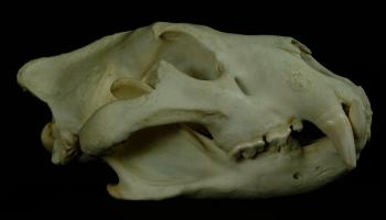 Natural History Collections: Felidae