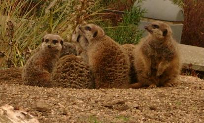 Family of Meerkats at Edinburgh Zoo