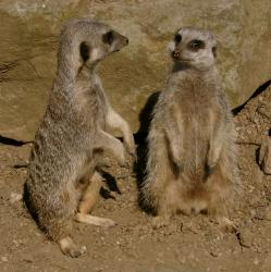 Close up of two meerkats side by side at Edinburgh Zoo