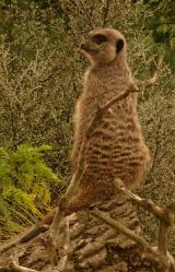 Meerkat Sentinel at Edinburgh Zoo
