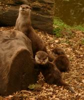 Otters at Edinburgh Zoo