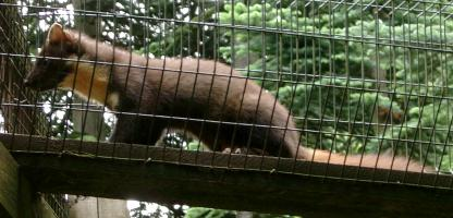 Pine Marten at the Highland Wildlife Park