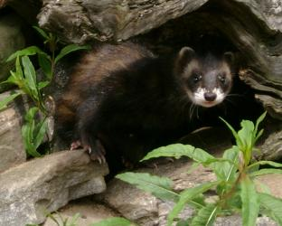European polecat at the Highland Wildlife Park