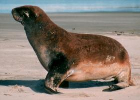 Immature Sea Lion