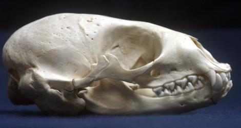 Common Seal Skull