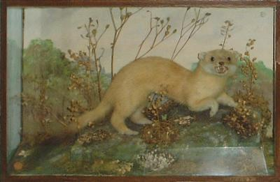 General features of mustelids depicted by stoat