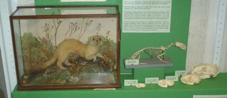 Weasel case, Stoat case
