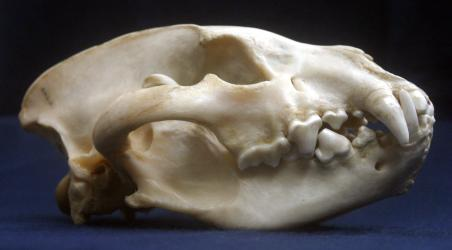 Striped Hyaena Skull