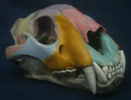 Painted tiger skull