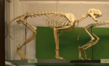 Wild Cat Skeleton