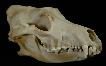 carnassial teeth: the defining feature of members of the order carnivora