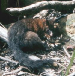 A Wild Brushtail Possum