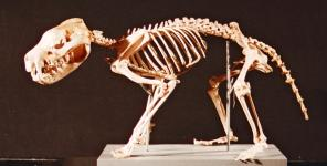 Skeleton of Tasmanian devil