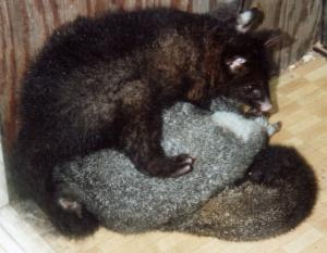 large and small possums
