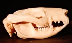 Brushtail possum skull