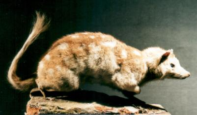 Eastern quoll