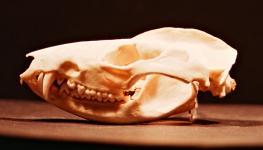 http://www.nhc.ed.ac.uk/images/collections/mammals/marsupials/quollskull.jpg