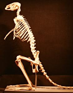 Red kangaroo skeleton