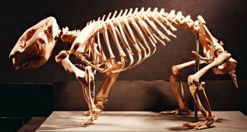 Skeleton of Common Wombat