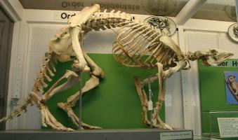 Aardvark skeleton - photo#3