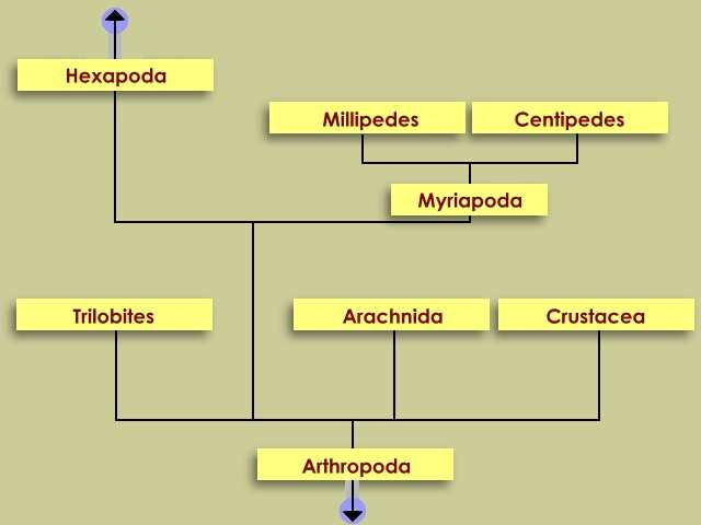 ARACHNIDS SAMANTHA - MDC Wolfson Evolution