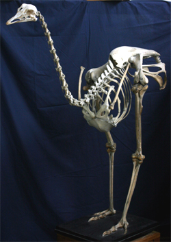 http://www.nhc.ed.ac.uk/images/vertebrates/birds/Ostrich.jpg