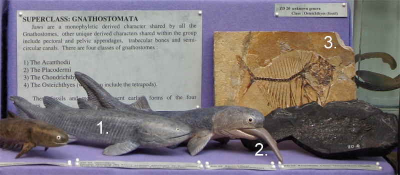 Extinct Bony Fish