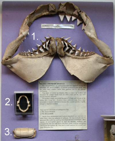 Jaws of Cartilaginous Fish
