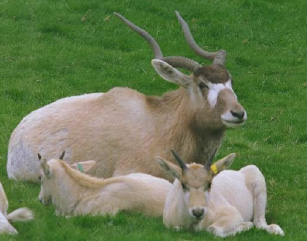 ADDAX WITH YOUNG