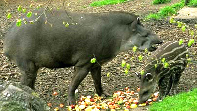 TAPIR WITH YOUNG
