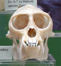 what are primates