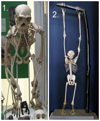 natural history collections: apes and humans, Skeleton