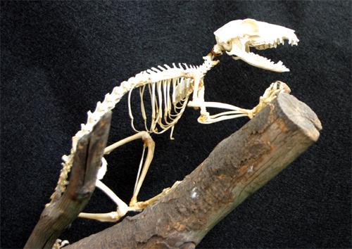 http://www.nhc.ed.ac.uk/images/vertebrates/scandentia/TupaiaSkeleton.jpg